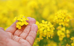 Hand holding mustard flowers Royalty Free Stock Images