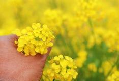 Hand holding mustard flowers Royalty Free Stock Photo