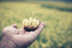 Hand holding mustard flowers Stock Photo