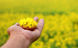 Hand holding mustard flowers Stock Photography
