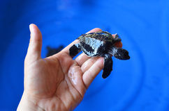 Hand holding newly hatched baby turtle Stock Photo