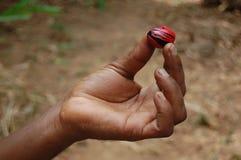 Hand holding nutmeg Royalty Free Stock Image
