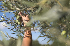 Hand holding olive branch Stock Images