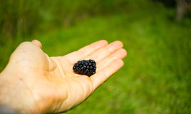 Hand holding one beautiful blackberry Royalty Free Stock Photos