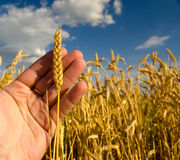Hand holding one stem of ripe wheat Stock Photo