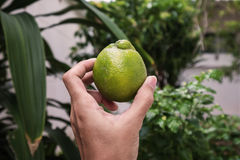 Hand holding organic home grown giant green Thai lemon Royalty Free Stock Photos