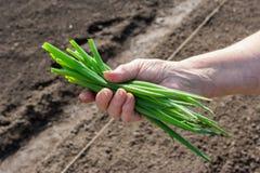 Hand holding organic onion Stock Photos