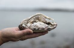 Hand holding oyster Royalty Free Stock Image