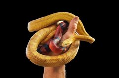 Hand holding a pair of snakes Stock Images