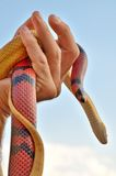 Hand holding a pair of snakes Royalty Free Stock Photo