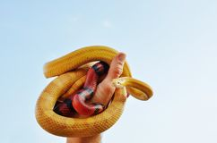 Hand holding a pair of snakes Stock Image