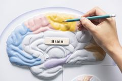 Hand holding pencil to teach of brain anatomy. A hand holding pencil to teach human brain anatomy stock photos