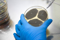 Hand holding a petri dish Royalty Free Stock Photo
