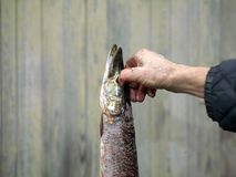 Hand Holding Pike stock images