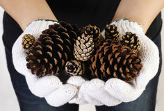 Hand holding pine cone Royalty Free Stock Image