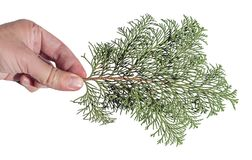 Hand holding pine tree branch for decoration isolated on white. Background natural close Royalty Free Stock Photo