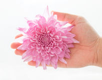 Hand holding a pink dahlia Stock Images