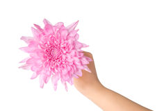 Hand holding a pink dahlia Royalty Free Stock Photos