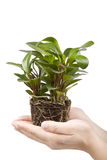 Hand holding plant Stock Image