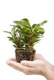 Hand holding plant Stock Image