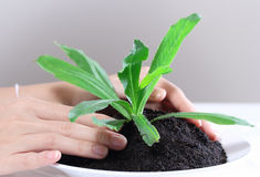 Hand holding plant. Closeup image of hand holding and caring a young green plant in soil Royalty Free Stock Images