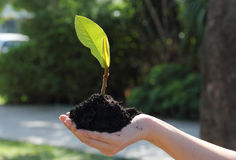 Hand holding plant. Closeup image of hand holding a young green plant in soil Stock Photo