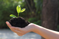 Hand holding plant. Closeup image of hand holding a young green plant in soil Stock Image