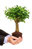 Hand holding a plant Ficus Benjamin. A hand holding a plant Ficus Benjamin (ficus benjamina natasja) isolated on white background Stock Photos