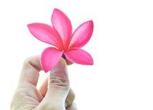 Hand holding plumeria flower. On white background Stock Photos