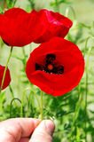 Hand holding poppy flower, Stock Images