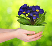 Hand holding Primrose in pot Stock Images