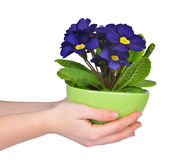 Hand holding Primrose in pot Stock Photo