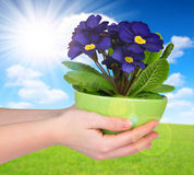 Hand holding Primrose in pot Royalty Free Stock Photography