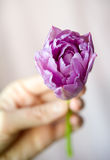 Hand holding purple tulip Royalty Free Stock Photography
