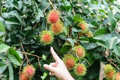 Hand holding rambutan fruit. Fresh rambutans hung on durian trees in a Thai farmer`s garden. The fruit is very palatable Royalty Free Stock Photo