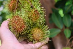 Hand holding rambutan fruit. Fresh rambutans hung on durian trees in a Thai farmer`s garden. The fruit is very palatable Stock Photography