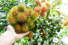 Hand holding rambutan fruit. Fresh rambutans hung on durian trees in a Thai farmer`s garden. The fruit is very palatable Stock Photo