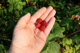 Hand Holding Raspberries. A hand holding some freshly picked raspberries to be enjoyed as a summer treat Stock Images