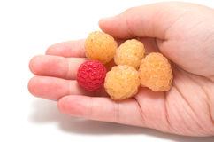 Hand holding  raspberries Royalty Free Stock Photo