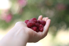 Hand holding raspberries Royalty Free Stock Image