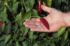 Hand holding red chili pepper in a vegetable garden. Red chili on hand, chili backyard Royalty Free Stock Photos