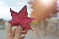 HAND HOLDING A RED COLORED AUTUMN LEAF AGAINST SUNSET LIGHT stock photo