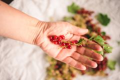 Hand holding red currant berries. On a pendulous raceme, leaves present stock image