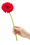 Hand holding red gerber daisy Royalty Free Stock Image