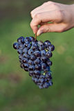 Hand holding red grape cluster Stock Photo