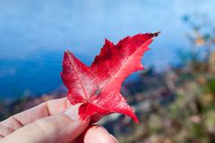 Hand Holding Red Leaf by Blue Water Royalty Free Stock Images