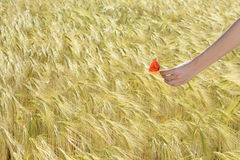 Hand holding red poppy flowers against corn field Stock Photo