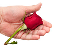 Hand holding red rose Royalty Free Stock Photos