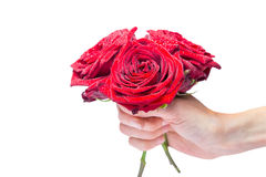 Hand holding red roses with water drops. Female hand holding three red roses with water droplets isolated on white background Royalty Free Stock Photos