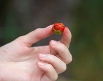 Hand holding a  red strawberry. Woman's hand holding a  red strawberry Stock Images